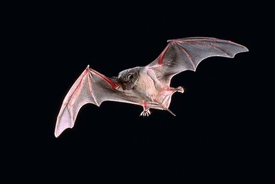 bats have tails information